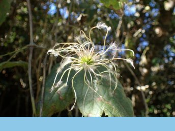 {Clematis mauritiana Lam.}, Les Makes forest